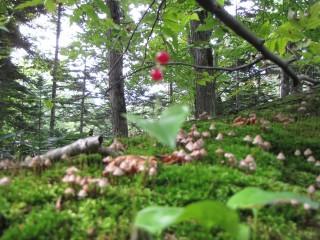 gooseberry 098